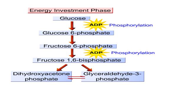 Biology  Glycolysis