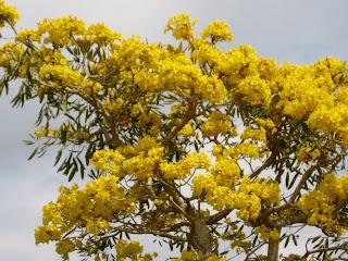 trumpet tree