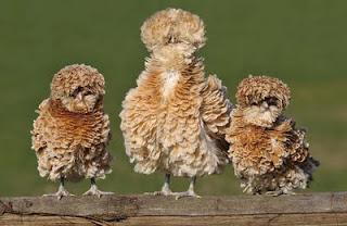 gallinas de plumas rizadas