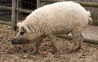 cerdos lanudos