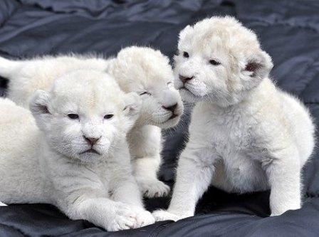 اجمل السنوريات البيضاء -1- White+Lions+2.jpg