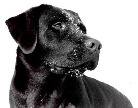 http://3.bp.blogspot.com/_D1XQFGmyNws/TMMPOQFDl4I/AAAAAAAABRU/srSXycknDm0/s1600/SnowDog-Labrador-Retriever.jpg