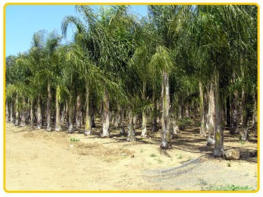 ... palm trees for over 30 years and now have some very tall, mature, ...