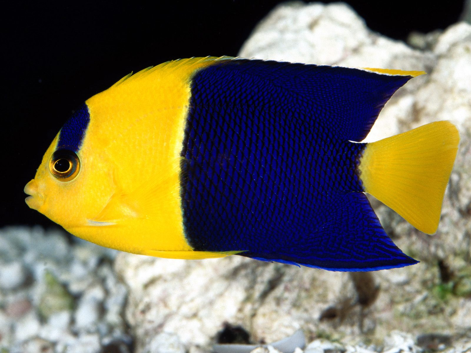 Darrylt bi color angel fish for What color are fish