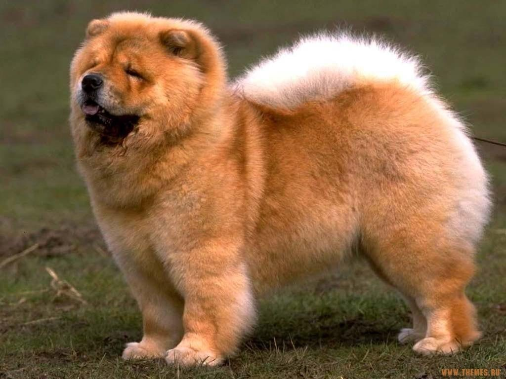 Chow Chow Dog Breed Wallpaper Download