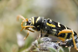 Para ampliar Plagionotus arcuatus hacer clic