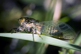 Para ampliar Cicadidae hacer clic