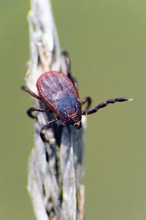 Para ampliar Rhipicephalus sanguineus hacer clic