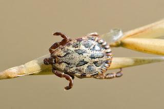 para ampliar Dermacentor reticulatus hacer clic