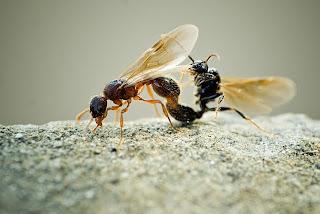 Para ampliar Myrmica sp (Hormiga roja) hacer clic