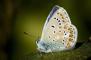 Para ampliar Polyommatus icarus (macho) hacer clic