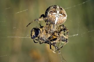 Para ampliar Araneus diadematus (araña de jardín, de cruz) hacer clic
