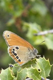 Para ampliar Coenonympha glycerion (Ninfa de Borkhausen) hacer clic