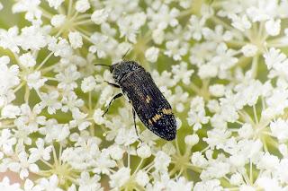 Para ampliar Acmaeoderella flavofasciata hacer clic