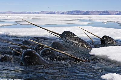 獨角鯨 - 獨角鯨 Narwhal