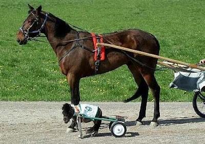 世界上最小的公馬