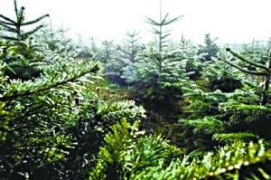 瑞典 9550歲 老樹 - 瑞典 9550歲 雲杉老樹