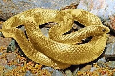 黃金生物 - 地球十大 黃金生物