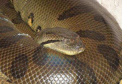 超大蟒蛇王 - 超大蟒蛇王集錦