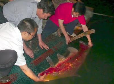 胭脂魚 亞洲美人魚 - 烏江的 胭脂魚 亞洲美人魚 Myxocyprinus asiaticus