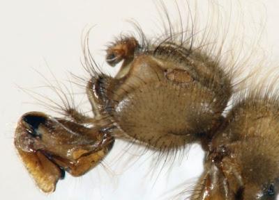 黃毛蠅 - Mormotomyia hirsute
