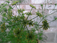 Parsley Gone To Seed