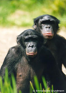 Chimpanzés Bonobo