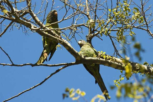 Papagaios à solta na cidade – Parque Eduardo VII, Lisboa