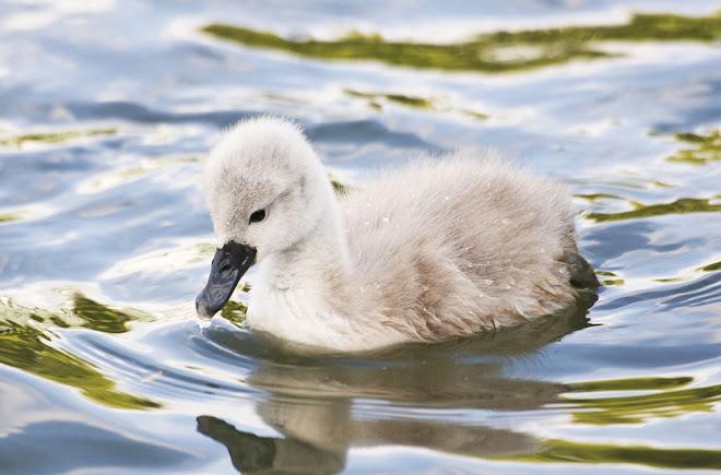 O pequeno cisne 5 - Parque da Paz, Almada