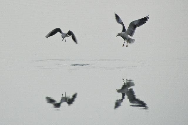 Gaivotas numa manhã cinzenta 2 - Baía do Seixal