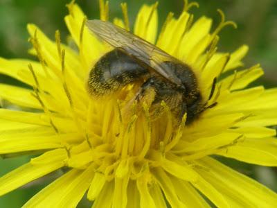 Budapest,  blog,  virágok,  virág,  kép,  képek,  fotó,  fotók,  makró, méhecske, méh, virágpor, wallpaper, háttérkép, virágoskert, bee, honey-bee