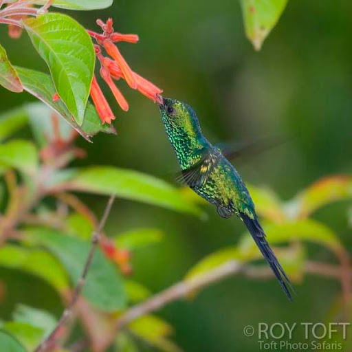 Endemic Cozumel Emerald Hummingbird
