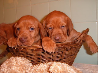vizsla puppy photo