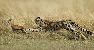 The gallery for --> Baby Gazelle Running