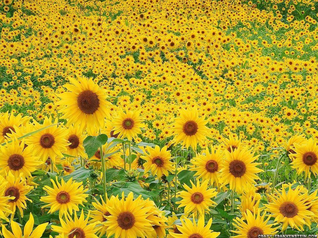 http://3.bp.blogspot.com/_DK6QkvGpSvk/S9T3QfEbe_I/AAAAAAAAAEk/pWOVaikZw0c/s1600/sunflower-field-wallpaper.jpg
