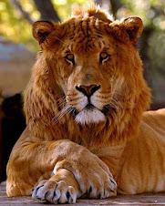 protector leon de juda