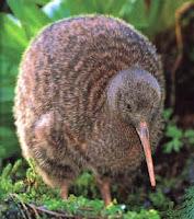 kiwi animal