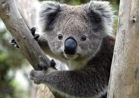 le saviez vous les particularit s du koala. Black Bedroom Furniture Sets. Home Design Ideas