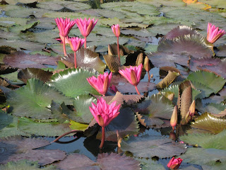 Lotus Pond at the Leela