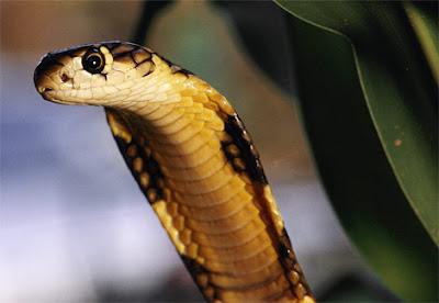 king cobra 03