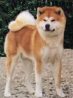 perros peligrosos Akita_inu%5B1%5D