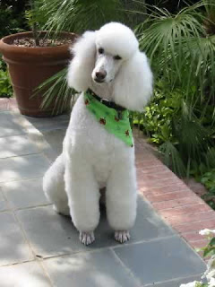Poodle photos