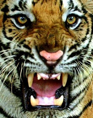 gambar kepala macan - gambar macan - gambar kepala macan