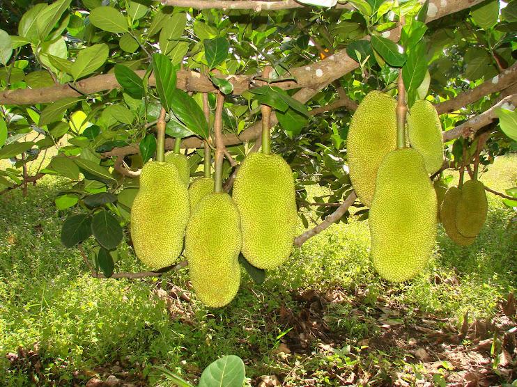 Gambo pokok nangka dah bebuah di kebun teman