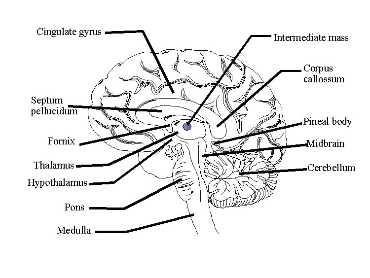 Diagram Of A Labeled Brain  Diagram Of A Labeled Brain