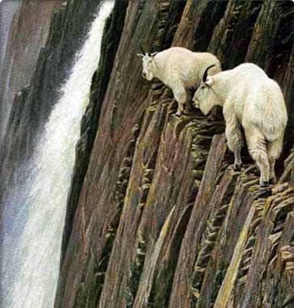 kemuan panjat tebing kambing gunung wahw33d