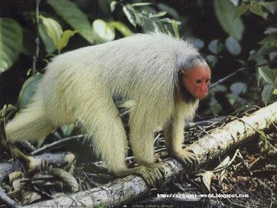 Gambar Monyet Monyet yang UNIK dan ANEH ~ blog dalimunt