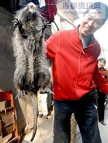 Giant rat caught in China @ strange picture