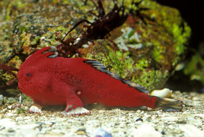 Are handfish walking towards extinction?  Seen On www.coolpicturegallery.us