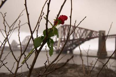 Forth Railway Bridge behind rose